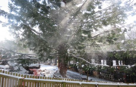 Large redwood tree covered in snow with sunlight coming through branches