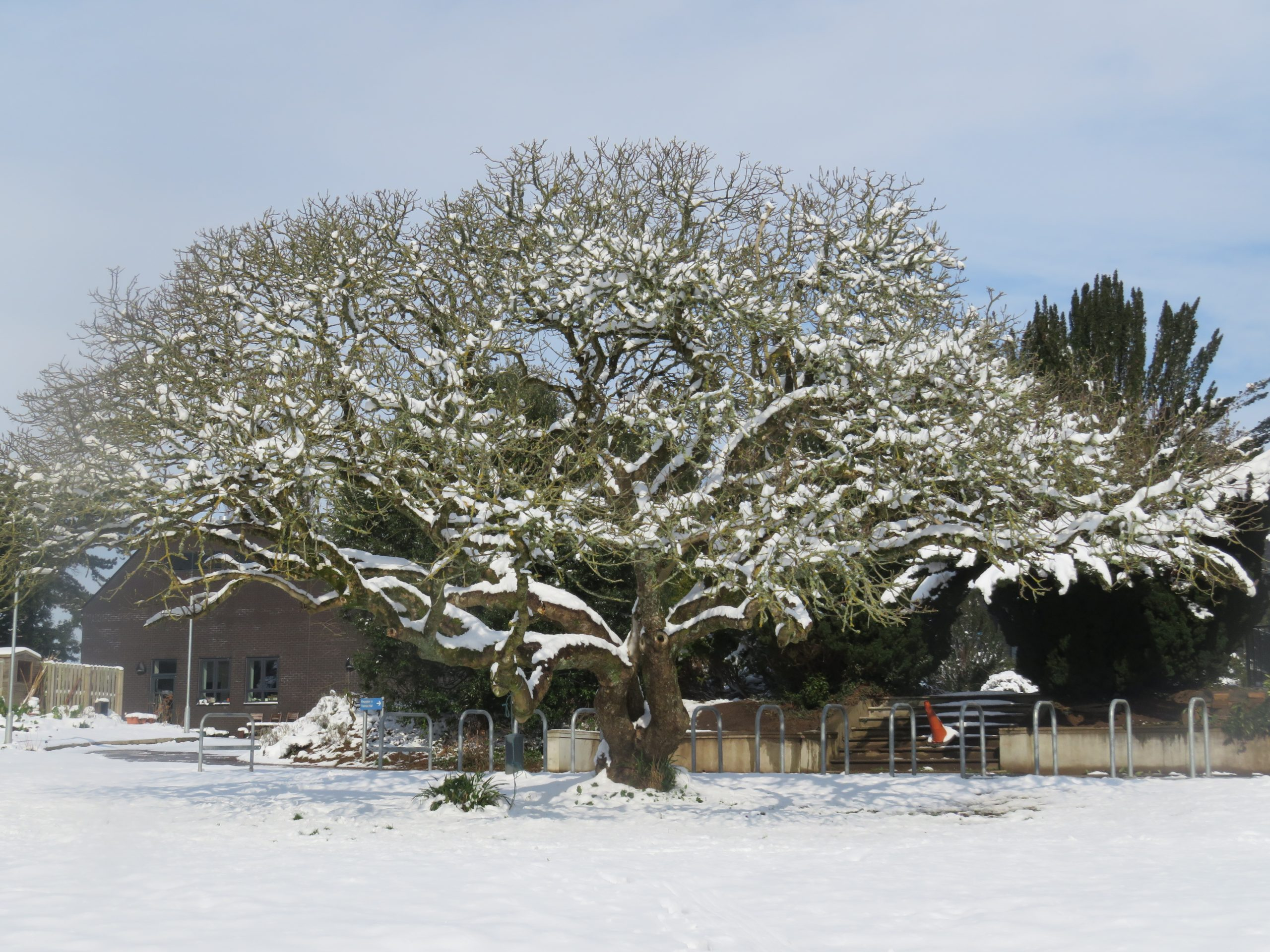 Aesculus californica (Californian bucked eyed chestnut) in the snow